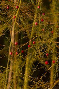 bessen van de aspergeplant in de Herfst van Mario Driessen