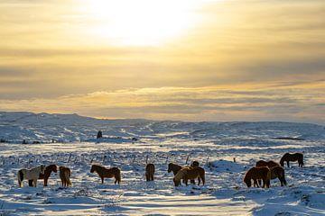 Islandpferde im Winter von Melissa Peltenburg