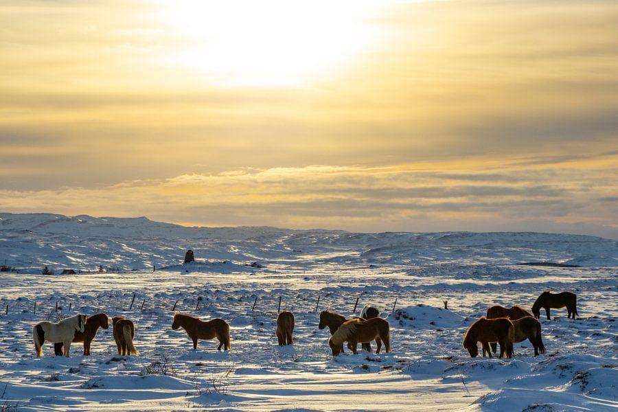 IJslandse paarden in de winter