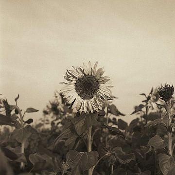 Sonnenblume von Kinography