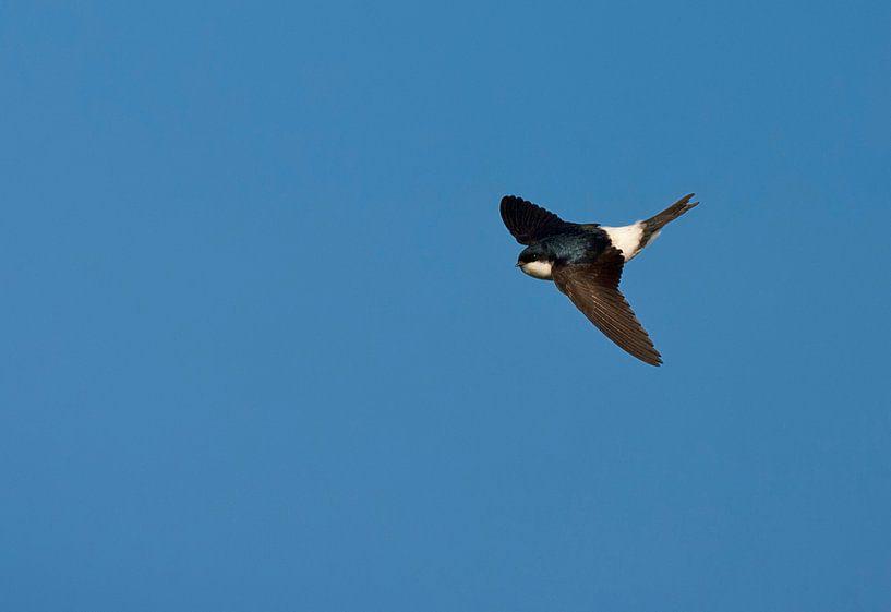 Vliegende Huiszwaluw tegen een blauwe lucht.  van AGAMI Photo Agency