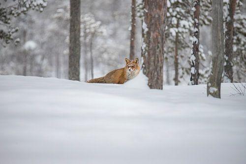 Vos in de sneeuw van Gert Hilbink