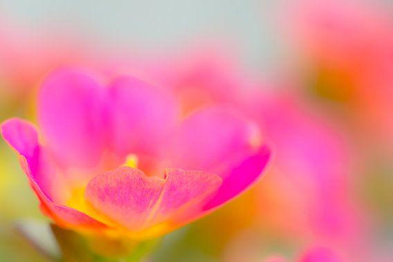 Portucala colorful