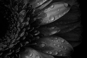 Macro nature morte fleur rose avec goutte d'eau