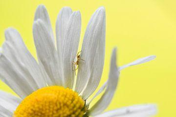 Kleine spin op bloem von Kim de Been