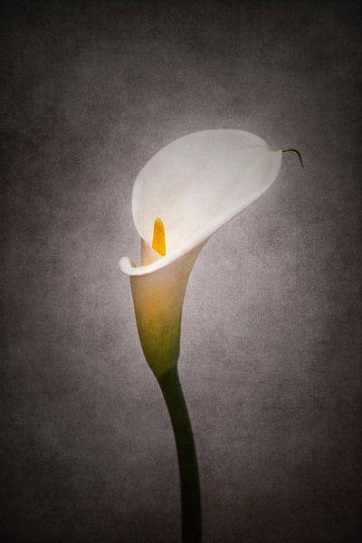 Grazile Blume - Calla Nr. 4 | Vintage-Stil von Melanie Viola