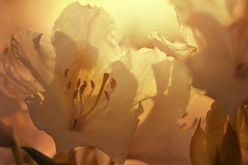 Blütenzauber van zwergl 0611