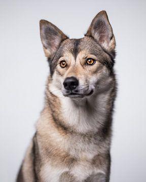 Minimalistisches Lichtporträt eines Wolfshundes von Lotte van Alderen