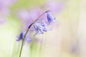 Wilde hyacint in het voorjaar