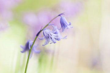 Hyazinthe im Frühling von Karla Leeftink