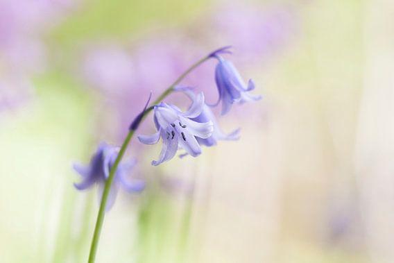 Wilde hyacint in het voorjaar van Karla Leeftink
