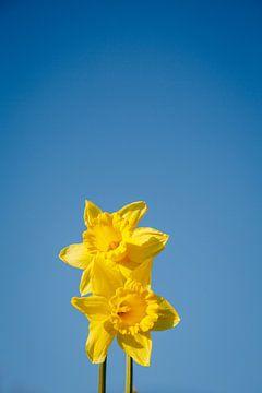 Narzissen in den ersten Sonnenstrahlen, es ist wie Frühling in Almere II | Bunte Frühlingsblumen im  von Evelien Lodewijks
