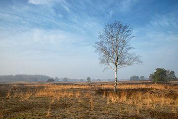 Birke und Gras auf Heide in Vierhouten an der Veluwe von Cor de Hamer
