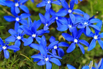Blaue Blüten des Frühlingsenzian in der Schweiz von Dennis van de Water