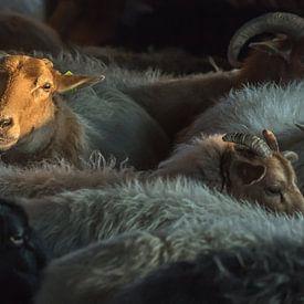 Drents heideschaap van Jeannette Braamskamp