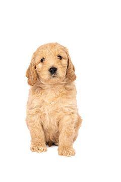 Een schattig labradoodle pupje zittend tegen een witte achtergrond van Leoniek van der Vliet