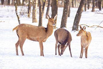 Edelherten op de Hoge Veluwe, Nederland, in winter van Gert Hilbink