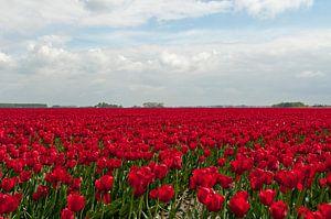 heel groot veld met ride tulpen