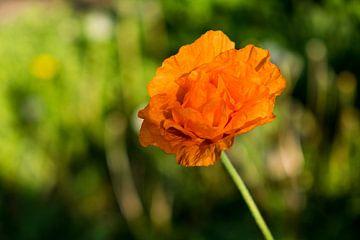 Solo orangefarbener Mohn auf trübem grünem Hintergrund von Idema Media