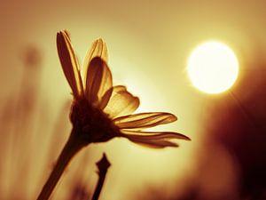 Madeliefje in 't zonnetje. van Anne Stielstra