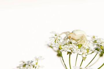 Kameleonspin in wit van Antoine Deleij