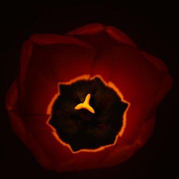 rote Tulpe von Saskia Schotanus