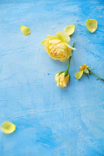 Gele Rozen, roos op een blauwe achtergrond van