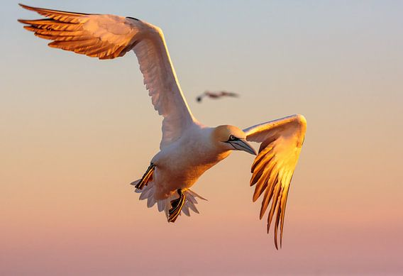 Golden Gannet