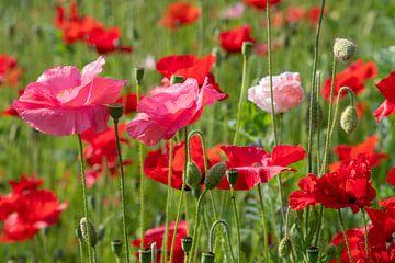 Ein Feld mit leuchtend bunten rosa und roten Mohnblumen von JM de Jong-Jansen