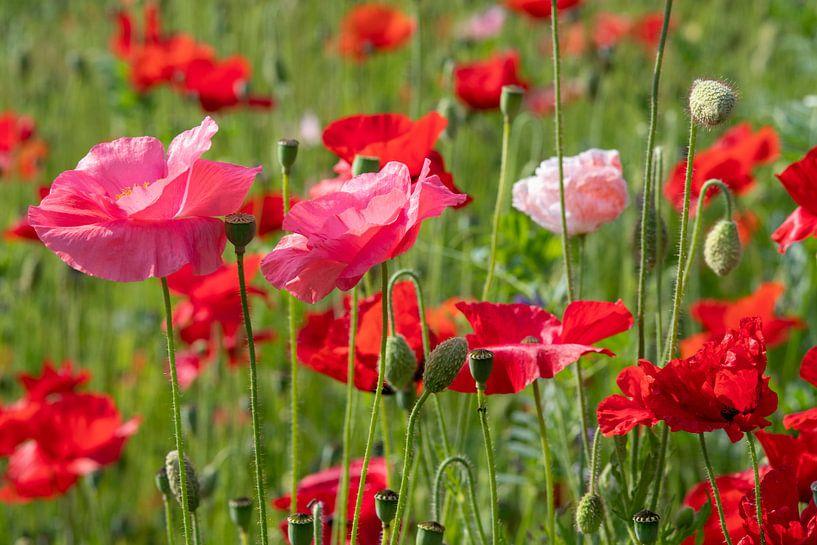 Un champ de coquelicots roses et rouges aux couleurs vives sur JM de Jong-Jansen