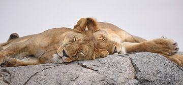 Op safari in Afrika:  Slapende leeuwen op een kopje in de Serengeti, Tanzania van Koolspix