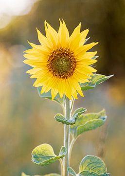 Sonnenblume von Petra Kroon