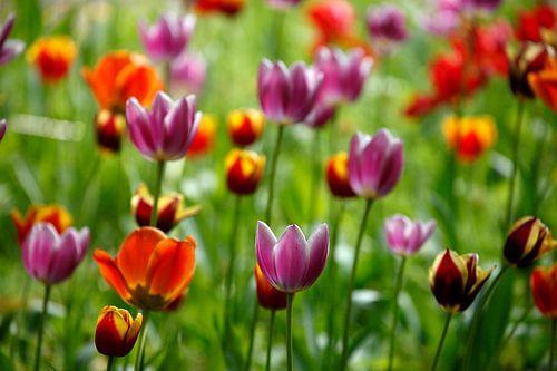 Bunt blühendeTulpen,  (Tulipa), Deutschland