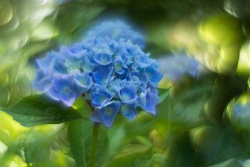 Hortensia van ColorsofNaturePhotography Jeanet Groenewoud