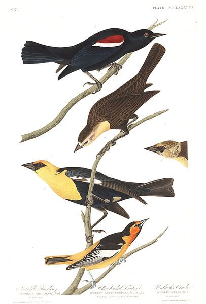 Geelkoptroepiaal van Birds of America