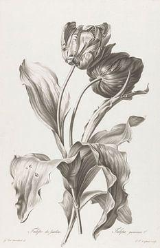 Tulipe, Pierre François Legrand, d'après Gérard van Spaendonck