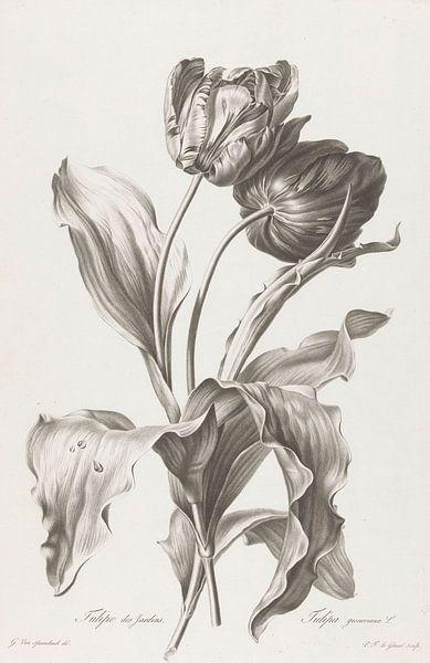 Tulp, Pierre François Legrand, na Gerard van Spaendonck van Vintage en botanische Prenten