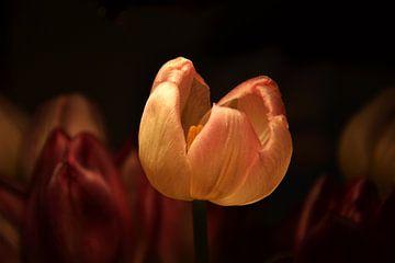 tulp in de spotlight van Jos Burger
