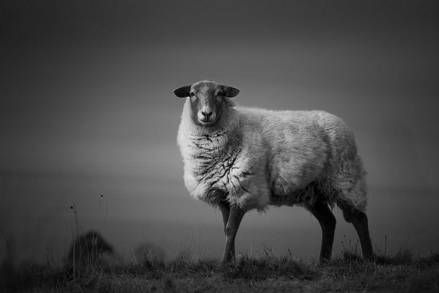 One sheep in the heather van Luis Fernando Valdés Villarreal Boullosa