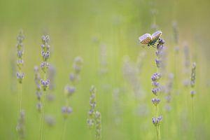 Lavendel Dream