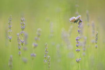 Lavendel Dream van