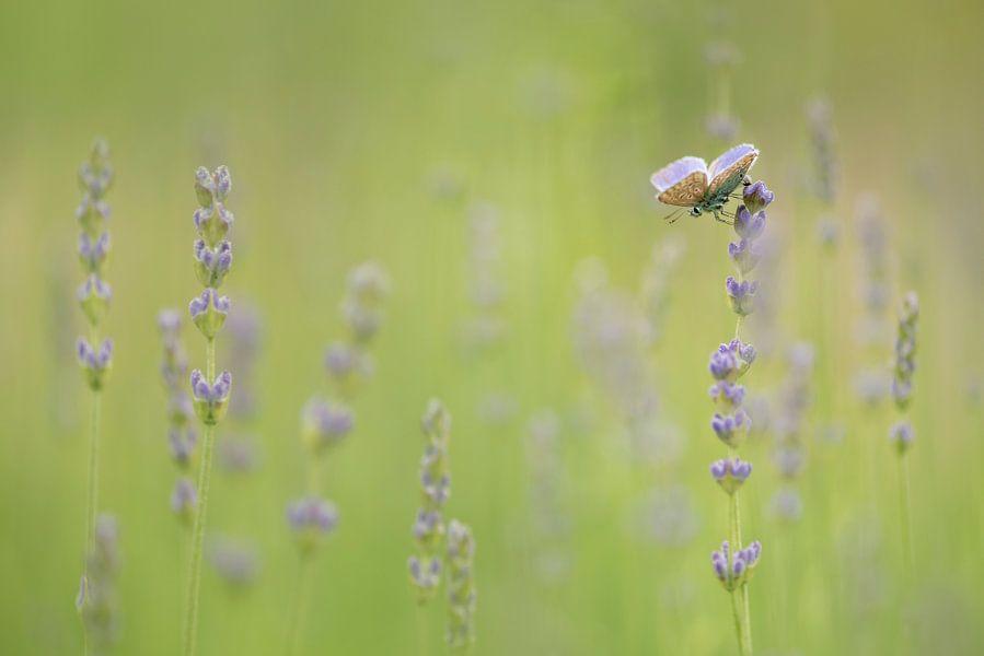 Lavendel Dream van Lia Hulsbeek Brinkman