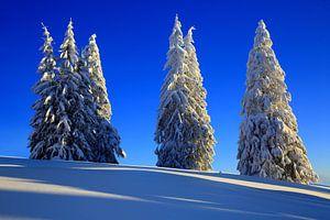 Schneebäume Feldberg Schwarzwald