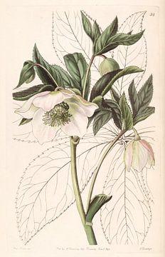 Helleborus orientalis Illustration von Sarah Ann Drake.
