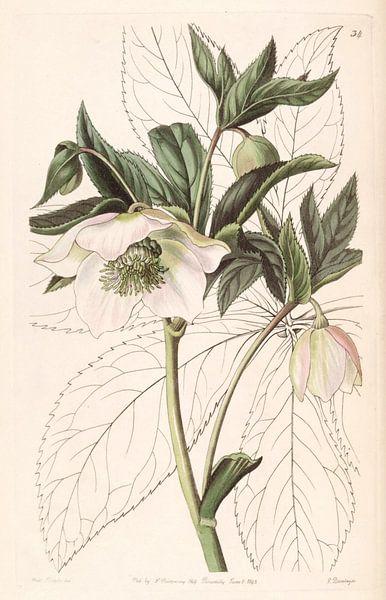 Helleborus orientalis illustration van Sarah Ann Drake. van Vintage en botanische Prenten