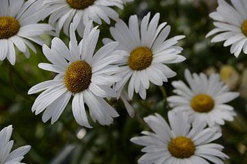 Das weiße Meer der Blumen von Dominique Stevens