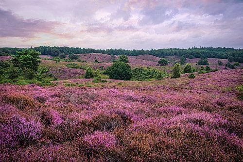 Bloeiend heidelandschap bij de Posbank, Nederland
