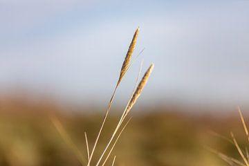 Marram-Gras im Sonnenlicht von Percy's fotografie