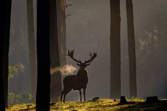 Uitademend Edelhert in het eerste zonlicht
