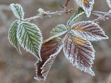Bevroren en gekleurd Bramenblad van